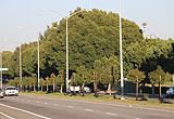 Manchester Median Trees